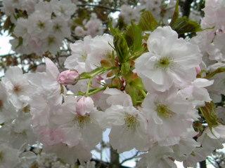 桜とTVガイド誌とエンタの神様